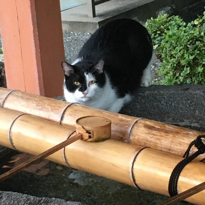 自宅近くの日吉神社で、手水で水分補給していた野良猫と目が合う