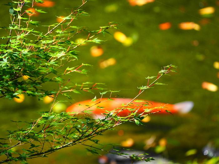 高千穂峡の池。チョウザメも居た。